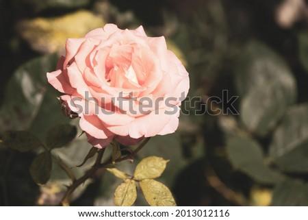 blooming rose vintage post. prod. Zdjęcia stock ©