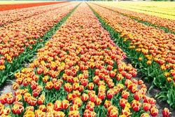 Blooming rows of red-yellow tulips in the Dutch flower fields. Multi-colored tulips on farm flower plantations in the Netherlands, province of Flavoland. Orange and red-yellow tulips close-up.