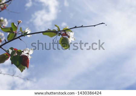 blooming sakura and blooming apple tree #1430386424