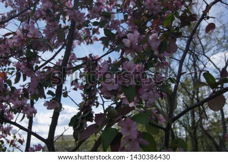 blooming sakura and blooming apple tree #1430386430