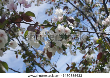 blooming sakura and blooming apple tree #1430386433