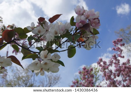 blooming sakura and blooming apple tree #1430386436