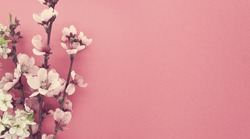 Blooming sakura, spring flowers on pink background with copy space for message. Greeting card for Valentine's Day, Woman's Day and Mother's Day holidays. Toned image. Top view