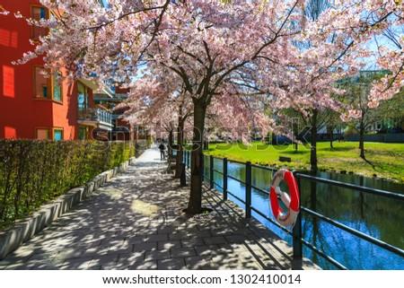 Blooming sakura tree in Stockholm, Hammarby area, Sweden. Swedish houses, walkway street in spring season. Exterior of scandinavian buildings, blossoming garden, pink flowers and embankment of canal.