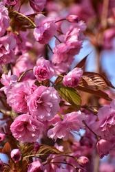 blooming sakura tree in the park in gdansk poland