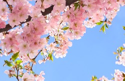 Blooming sakura tree, pink flowers cherry on twig in garden in a spring day on background blue sky