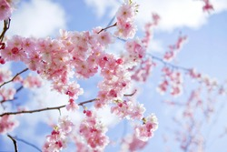 Blooming sakura with pink flowers in spring