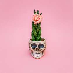 Blooming sansevieria plant and decorative Skull Planter on pink background. Halloween Human Skull Head Design Flower Pot with green Succulent and Rose flower. Minimal romantic barber shop concept.