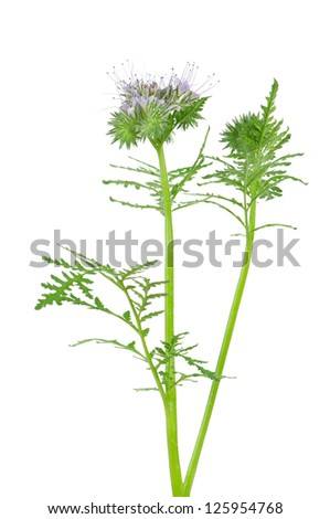 Blooming scorpion weed isolated on white background