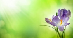 blooming spring flower crocus on blurred green abstract background, idyllic nature in springtime