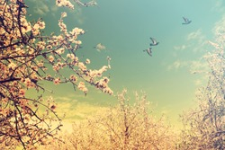 Blooming spring orchard. Flowering branches of almond trees with fluffy white and pink flowers. Springtime garden. Pigeons flying in the sky. Warm toned colors