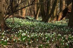 Blooming Spring Snowflake flowers in a spring forest. Spring Snowflake in the woods at springtime. Large amount of Spring Snowflake (Leucojum vernum) flowering plants