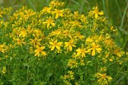 Blooming St. John's wort, hypericum perforatum