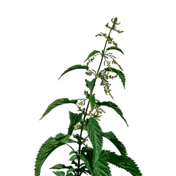 Blooming stalk of the common nettle isolated on white background. Raster clipart of a useful Urtica dioica plant for herbal medicine concepts