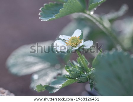 Blooming strawberry. Fragaria chiloensis. Becoming strawberry. White flowers of strawberry with green leaves. Blooming strawberries. Strawberry bush in the garden. Strawberries bloom outdoors. Macro
