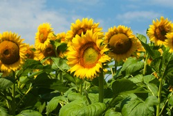Blooming sunflower in the field. A field of blooming sunflowers on a bright summer day