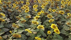 Blooming sunflower in the field of agriculture