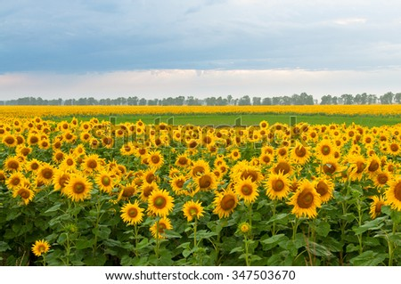 blooming sunflowers field and...