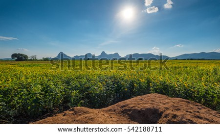 blooming sunflowers field and cloudy sky #542188711