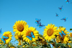 blooming sunflowers on a background of blue sky. beautiful blue butterflies flying among the flowers. Morpho butterflies on flowers.