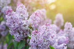 Blooming tender lilac, violet blue flower closeup at spring sunlight, natural background, pastel romantic color