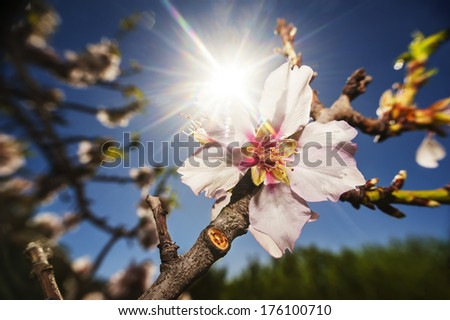 Blooming tree almond flower, fruit tree, blue sky background, seasonal nature beauty, dreamy soft focus picture, back light