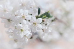 Blooming tree branch with white flowers close up in a sunny day. Spring nature concept. Selective focus