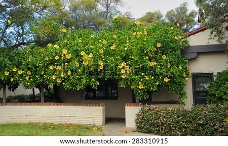 Blooming tree in patio