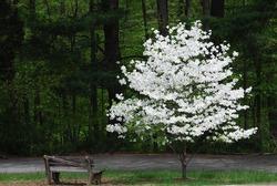 Blooming Tree in Spring
