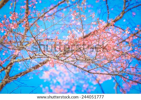 Blooming tree in spring with pink cherry blossom flowers Wild Himalayan cherry flower at Doi Ang Khang, Chiang Mai, Thailand