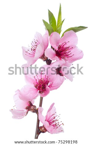 Blooming tree in spring with pink flowers - stock photo