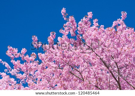 Blooming tree in spring with pink flowers with the blue sky