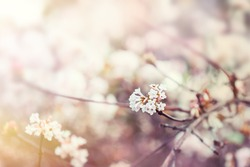 Blooming tree with white flowers. Soft focus. Spring flowers background