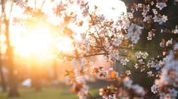 Blooming trees in the forest. Evening. Spring. Spring garden. Against the background of the sunset. Tender spring