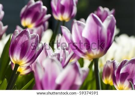 Blooming tulips in spring garden, shallow DOF