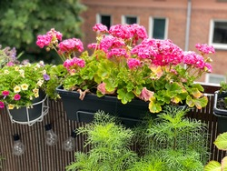 Blooming vibrant pink geranium pelargonium flowers in decorative flower pot hanging on a balcony fence, spring summer balcony garden with blooming flowers