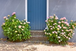 Blooming violet and pink Hortensia Hydrangea flowers in front of a blue wall with blue door in summer.