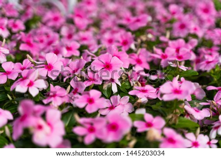 Blooming vivid pink Catharanthus roseus with green leaves and blurred background in summer season. (Madagascar periwinkle, rose periwinkle, or rosy periwinkle) #1445203034