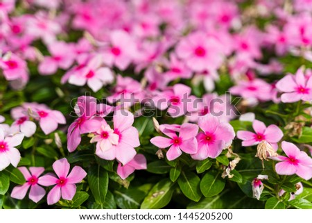Blooming vivid pink Catharanthus roseus with green leaves and blurred background in summer season. (Madagascar periwinkle, rose periwinkle, or rosy periwinkle) #1445205200