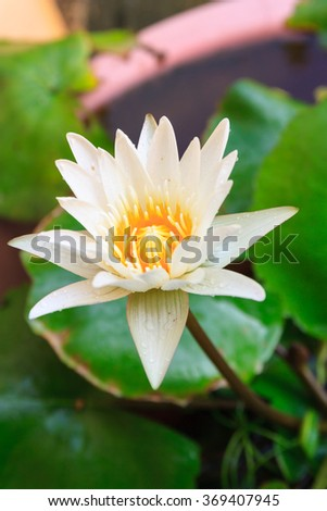 blooming water lily in the marsh,Thailand #369407945