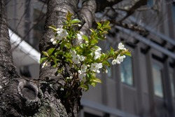 Blooming white cheery flowers on a new, fresh offshoot on an old, rotten, almost dead cherry tree.