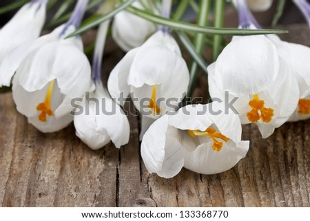 Blooming white crocuses on wooden background. Copy space.