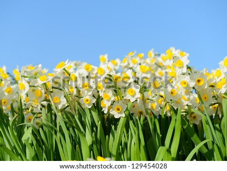 blooming white daffodils in close view