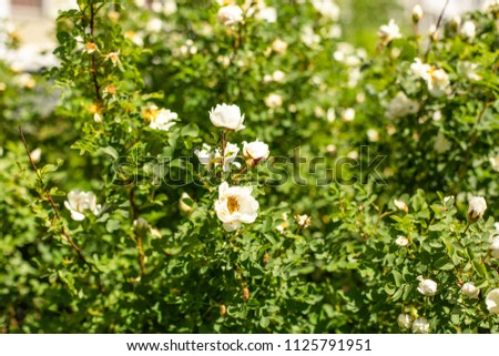 Blooming white flowers of dogrose in spring. Against the background of a diluted bushes of dogrose.  #1125791951