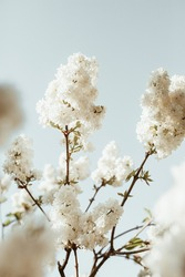 Blooming white lilac flowers bush. Natural summer floral composition