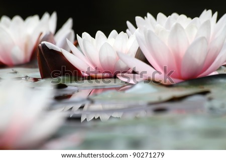 Blooming white lotuses - close up
