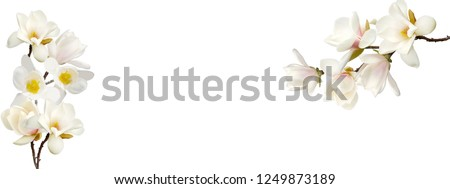 Blooming white magnolia flower on white background.