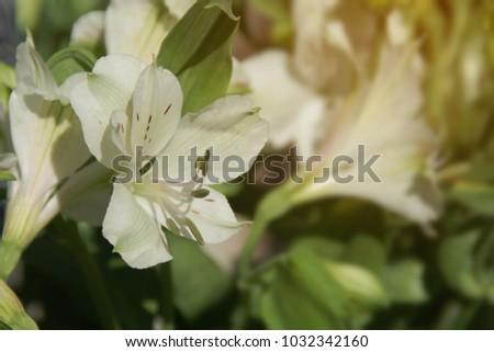 Blooming white peruvian lily alstroemeria flowers in the garden blooming white peruvian lily alstroemeria flowers in the garden mightylinksfo