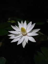 blooming white waterlily at night. It has white petal with yellow center. Waterlily or nymphae bloom at night.