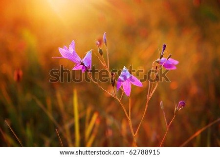 Blooming wild bluebell flowers in a meadow